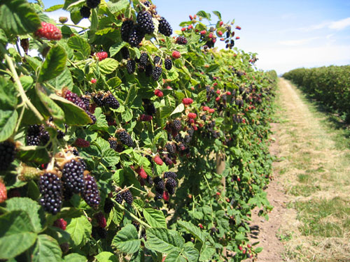 marionberries-with-dirt-road1