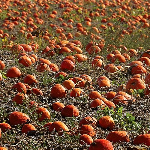 pumpkin-field-21