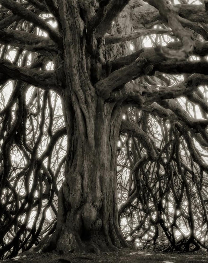 Beth Moon - THE WHITTINGHAME YEW